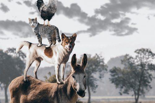 """Zwierzęta (osioł, pies, kot, kogut) stoją jedno na drugim jak w bajce """"Czterej muzykanci z Bremy"""". Tytuł artykułu: Idiomy hiszpańskie ze zwierzętami w temacie."""